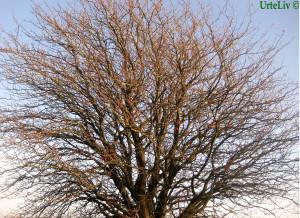 Træ til hjemmeside